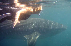 Overmyer swimming with a whale shark in Mexico.