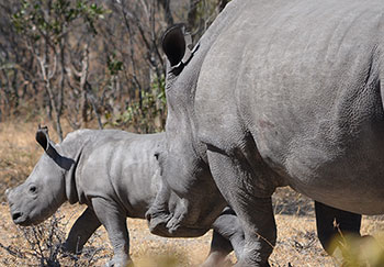 Maputo white rhino and calf.
